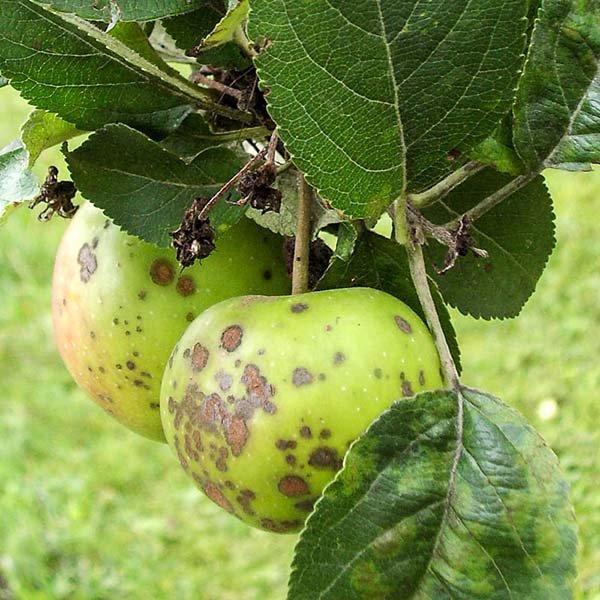 Как лечить паршу на яблоне – народные способы борьбы и химические средства