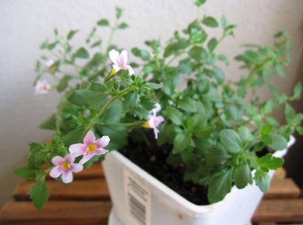 Бакопа ампельная- особенности выращивания в домашних условиях