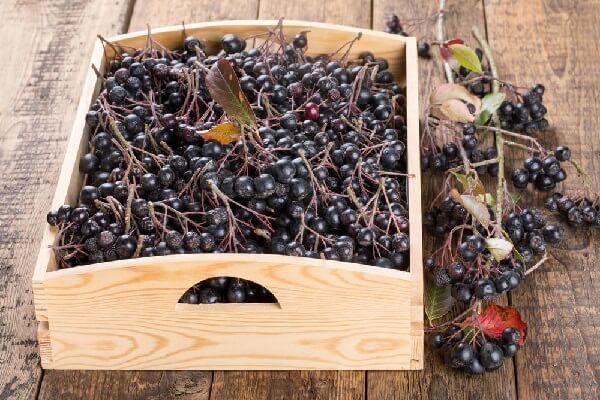 Рябина черноплодная – описание, польза и вред, рецепты, отзывы.