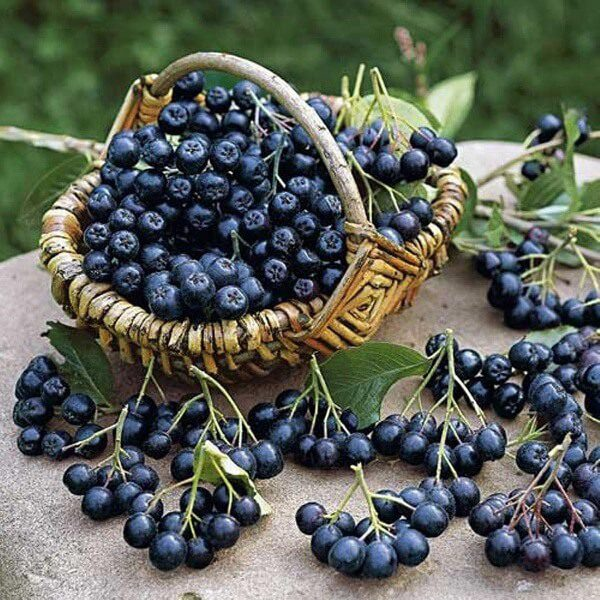 Рябина черноплодная – описание, польза и вред, рецепты, отзывы
