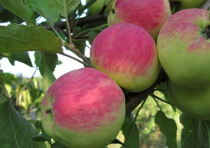 Болезни коры яблони описание с фотографиями и способы лечения