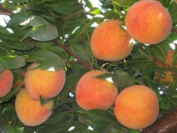 Как бороться с болезнями персика