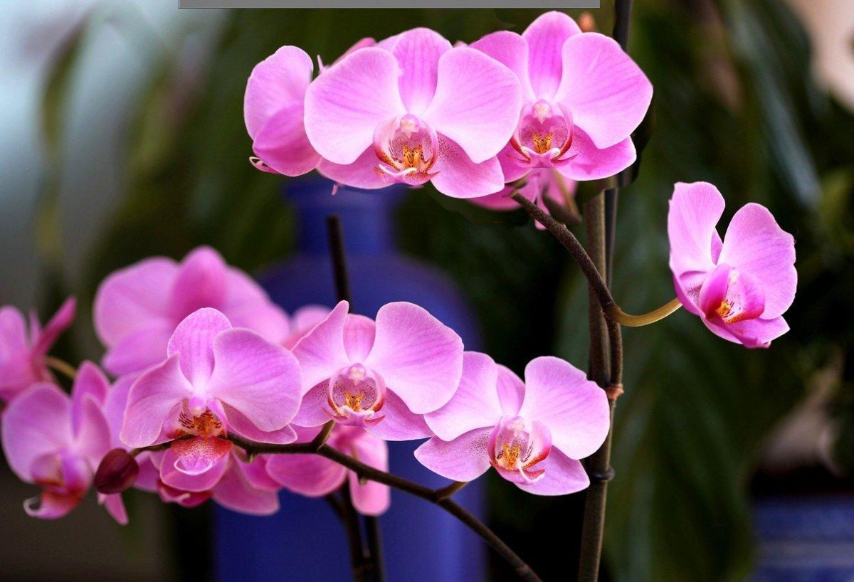 Орхидея Фаленопсис размножение в домашних условиях