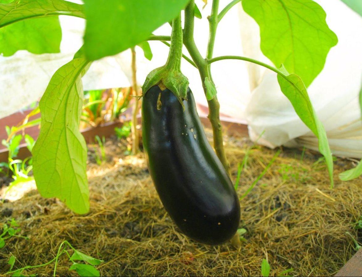 Чем подкормить баклажаны для роста народными средствами