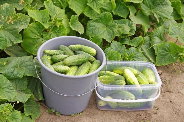 Выращивание и уход за огурцами в теплице и в открытом грунте