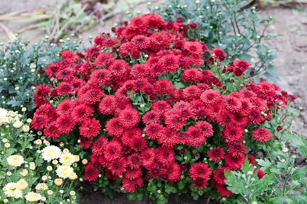 Посадка многолетней садовой хризантемы в открытый грунт осенью и весной: уход и выращивание в саду