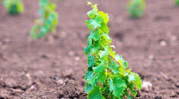 Выращивание винограда из косточки - посев семян в домашних условиях