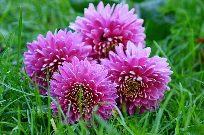 Хризантемы многолетние сорта фото и описание