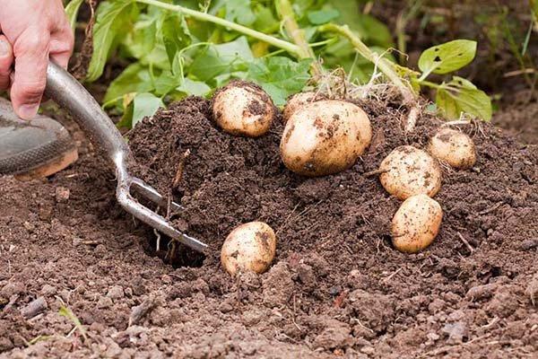 Когда выкапывать картофель и собирать урожай на хранение: сроки уборки