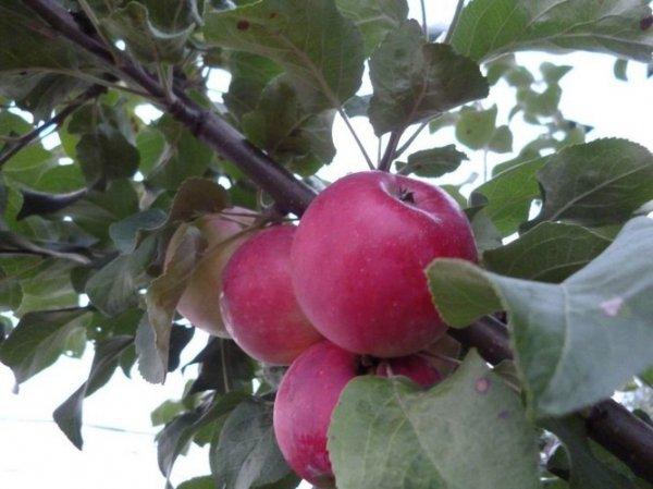 Болезни яблони описание с фотографиями и способы лечения