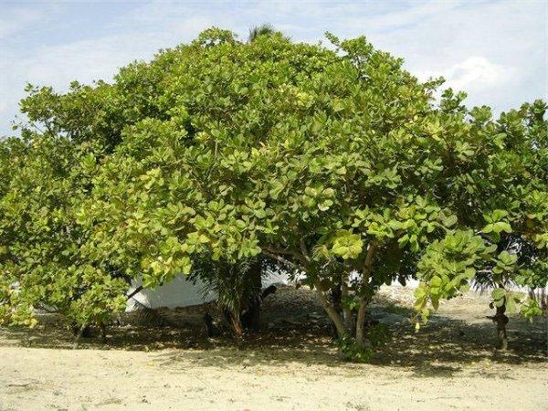Выращивание фундука на даче посадка саженца и уход в открытом грунте
