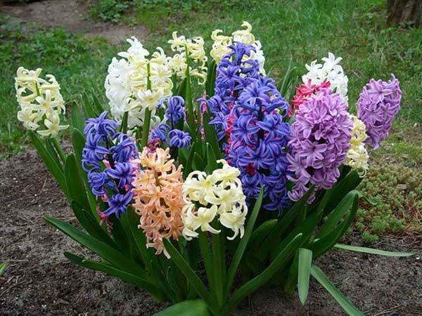 Посадка гиацинтов в открытый грунт осенью и весной, уход за цветами в саду