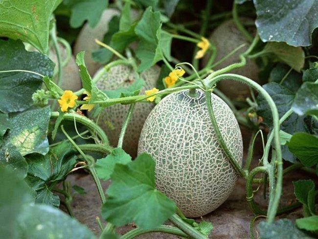 Чем подкормить дыни и арбузы желтеют листья