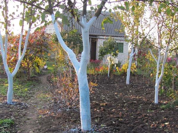 Побелка деревьев осенью и весной: когда (сроки), как и чем лучше белить (составы)