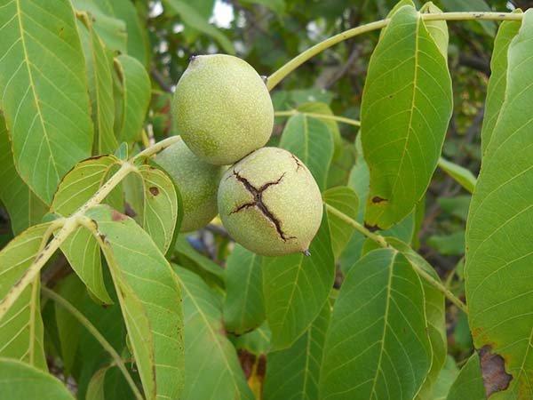 Как посадить грецкий орех саженцем осенью и весной схема, правила посадки и ухода за деревом