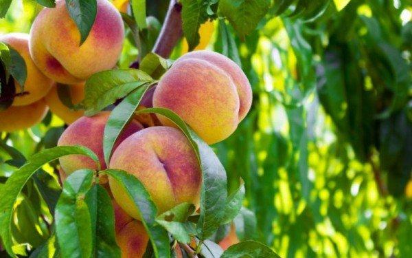 Как вырастить персик из косточки - посадка и уход в домашних условиях и открытом грунте