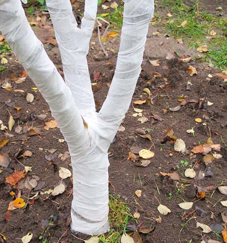 Ствол дерева, обмотанный белым агроволокном вместо побелки