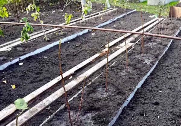Пересадка малины осенью и весной когда лучше и как правильно рассаживать кусты