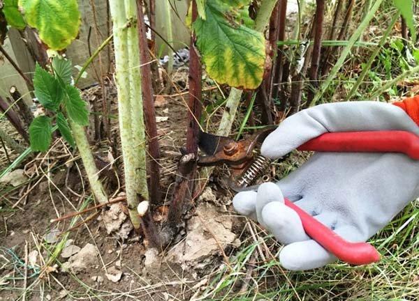 Обрезка малины после сбора урожая и осенью когда и как правильно нужно подрезать кусты на зиму