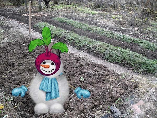 Когда и как правильно сеять свеклу под зиму сроки и сорта для осенней посадки