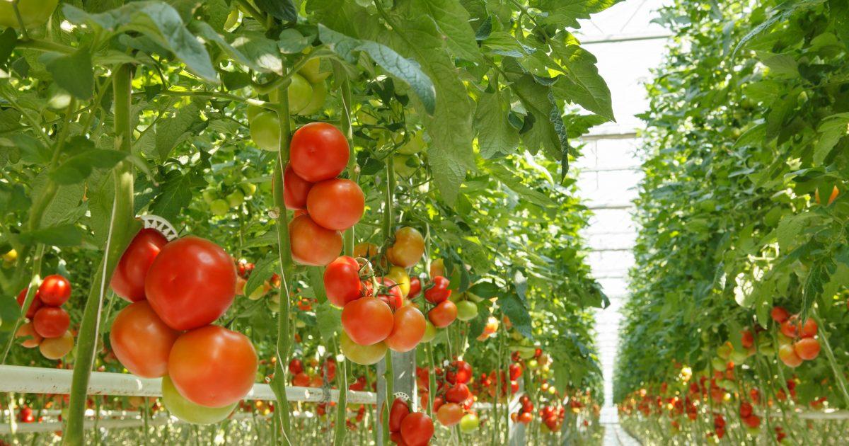 Болезни помидоров в теплице фото и видео