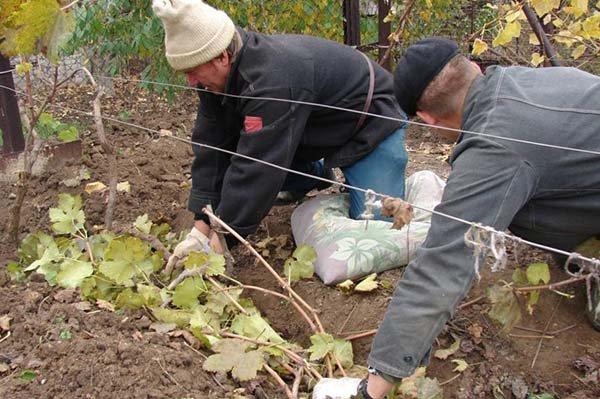 Когда и как укрывать виноград на зиму чем утеплить - способы и материалы