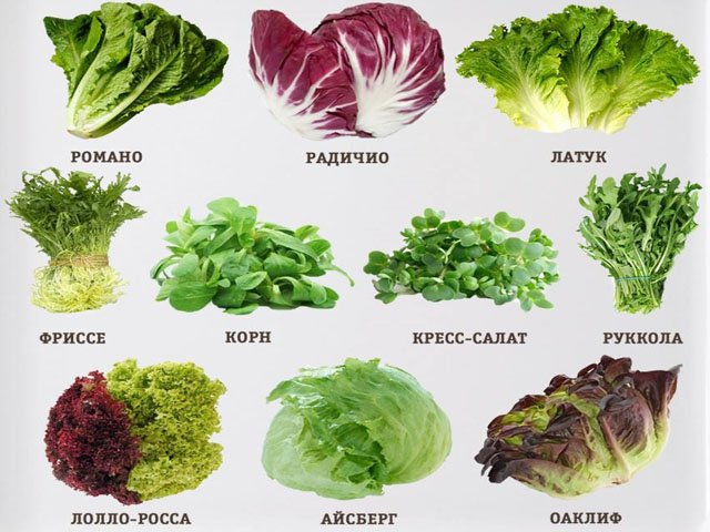 Зеленые салаты — виды и сорта салата и 7 вкуснейших простых рецептов