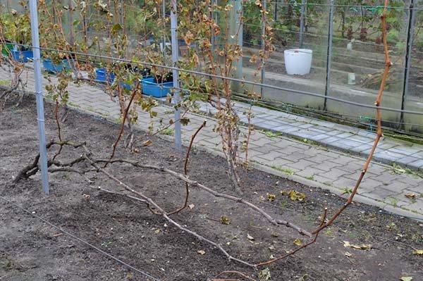 Осенняя обработка винограда перед укрытием на зиму чем и как опрыскивать