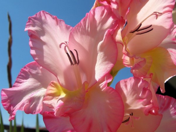 Чем подкормить гладиолусы для обильного цветения
