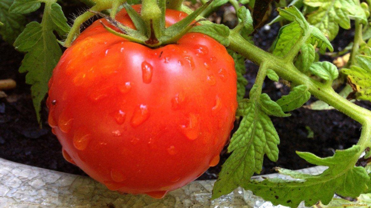 Чем подкормить помидоры в период плодоношения