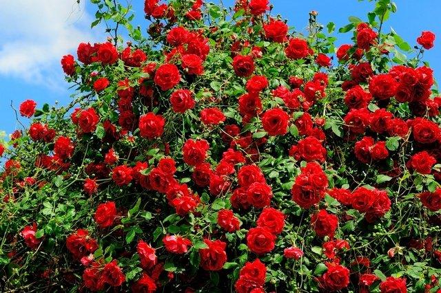 Розы виды и сорта для российских садов с названиями и описанием