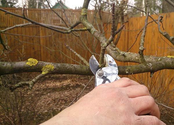 Обрезка яблони осенью когда сроки и как правильно подрезать схема