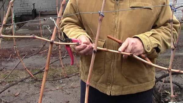 Размножение винограда черенками осенью как заготавливать чубуки и хранить их зимой