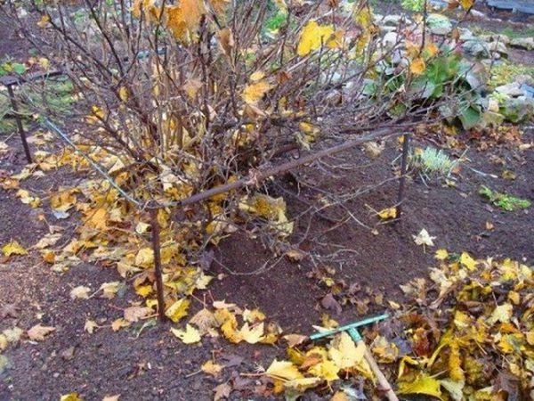 Осенняя подкормка смородины