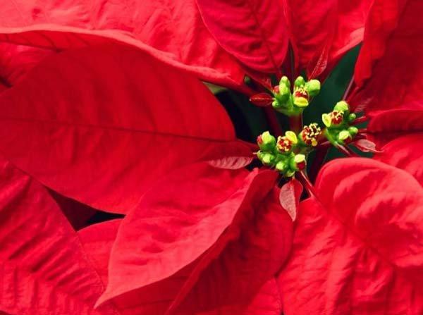 Растения и цветы с красными листьями названия, описания и фото