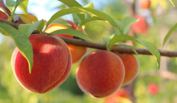 Обрезка персика осенью видео для начинающих