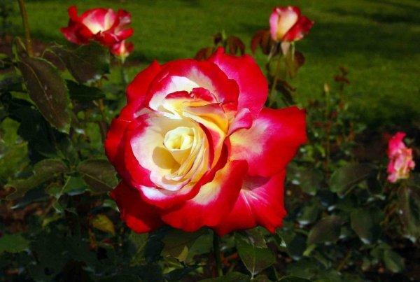 Посадка роз осенью когда и как посадить