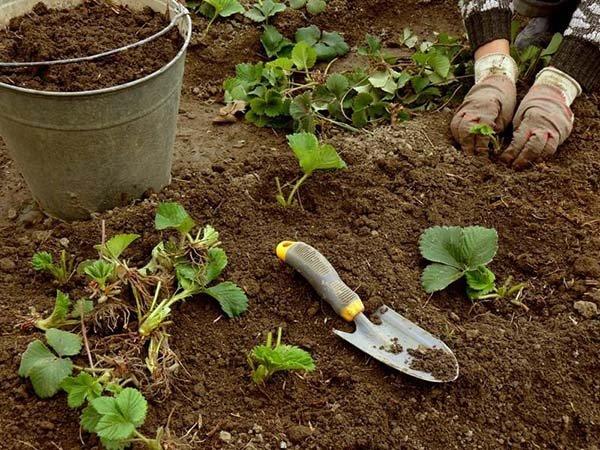 После чего и каких культур можно сажать клубнику осенью и весной
