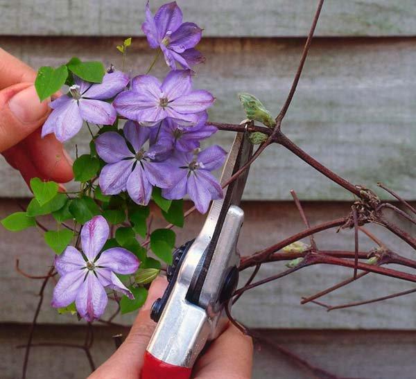 Как обрезать клематис осенью и весной правила для трех групп обрезки