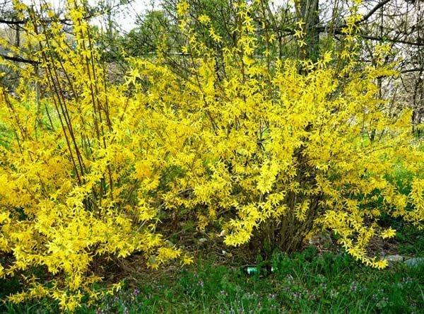 Декоративные кустарники и деревья с желтыми цветами и листьями: названия, описания и фото