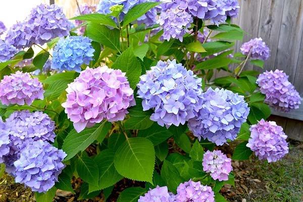 Почему не цветет гортензия в саду, причины и что делать, чтобы вернуть пышное цветение