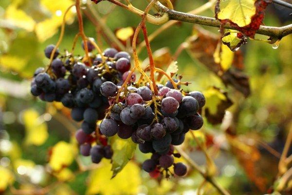 Обрезка винограда осенью для начинающих в картинках пошагово