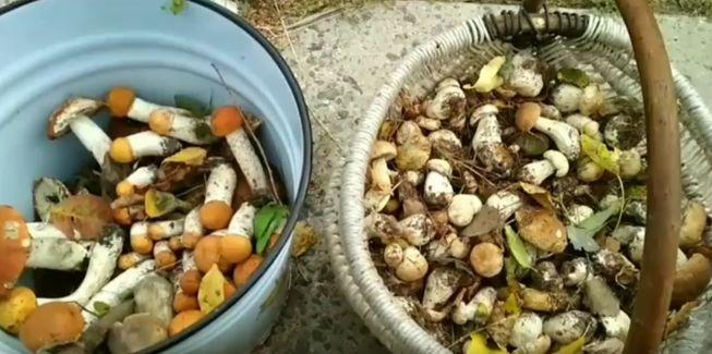 Грибной сезон и грибная охота полезна для здоровья