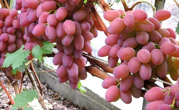 Лучшие сорта розового винограда с описанием, вкусовые качества, характеристики и фото