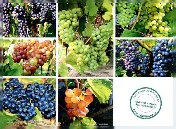 Топ-25 самых лучших и популярных сортов винограда: их описания, характеристики и фото