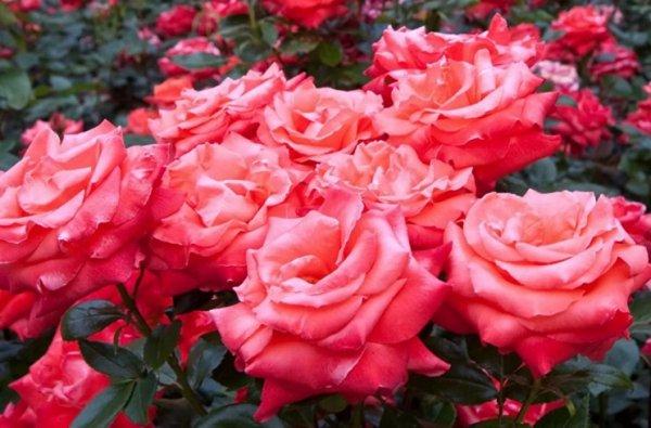 Посадка роз когда и как сажать розы в открытый грунт весной