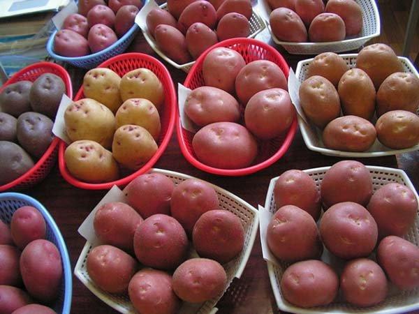 Лучшие сорта картофеля для Урала ранние, средние, поздние c описанием и фото, характеристики