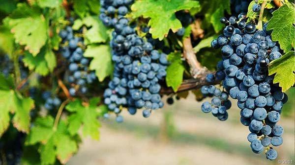 Лучшие сорта черного синего винограда с описанием, вкусовые качества, характеристики и фото
