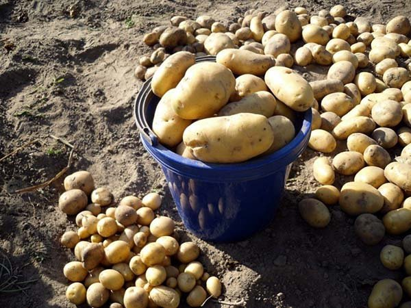 Лучшие сорта картофеля ТОП-50 самых вкусных и урожайных - их описания, характеристики и фото