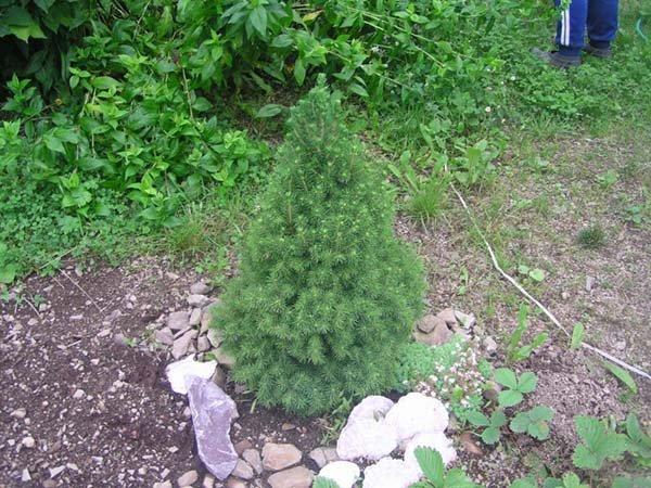 Ель канадская Коника - посадка и уход в открытом грунте: как пересадить и ухаживать в саду
